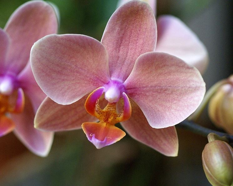 phalaenopsis orchidee