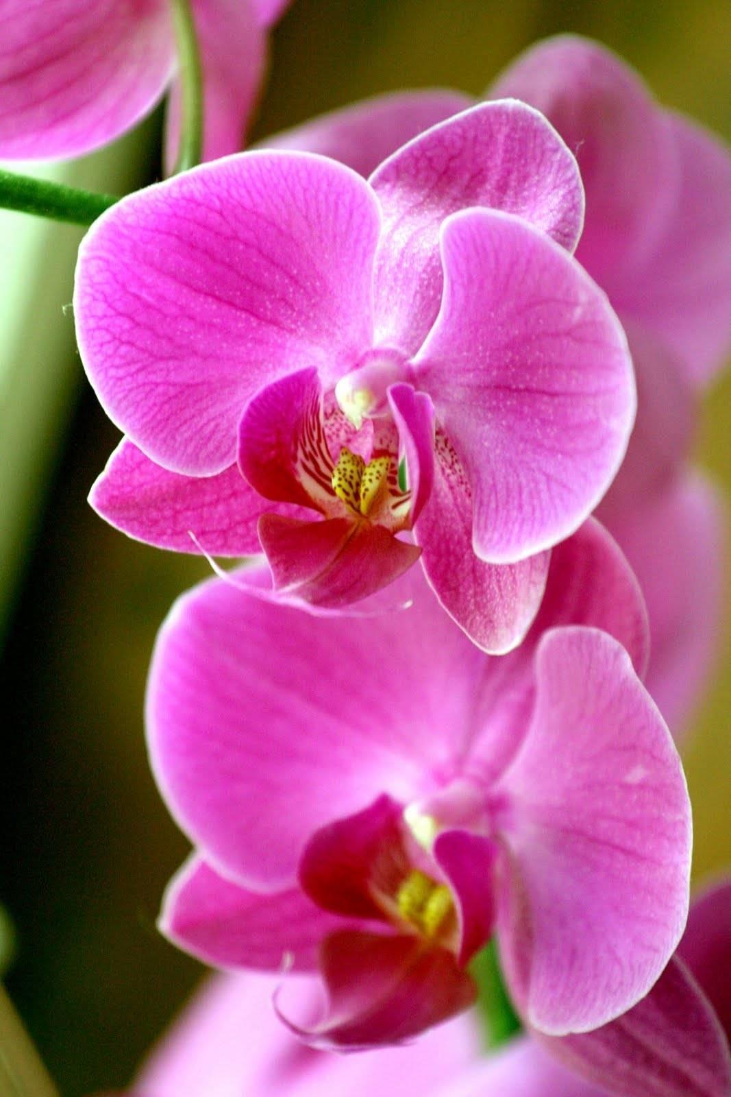Orchidee rosa orchidee - Orchidee da appartamento ...
