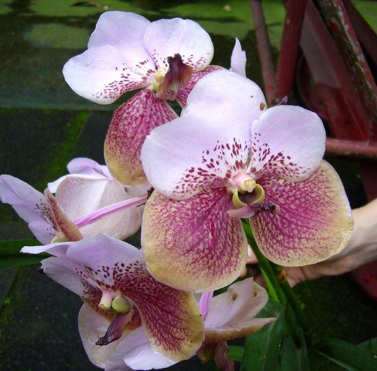Orchidea Vanda sanderiana