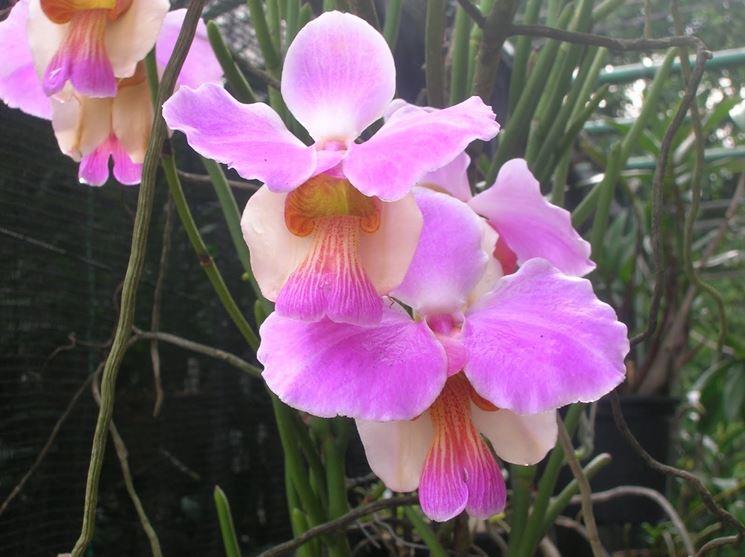 Orchidea Vanda teres