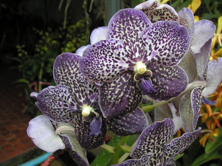 Orchidea Vanda Tailandese