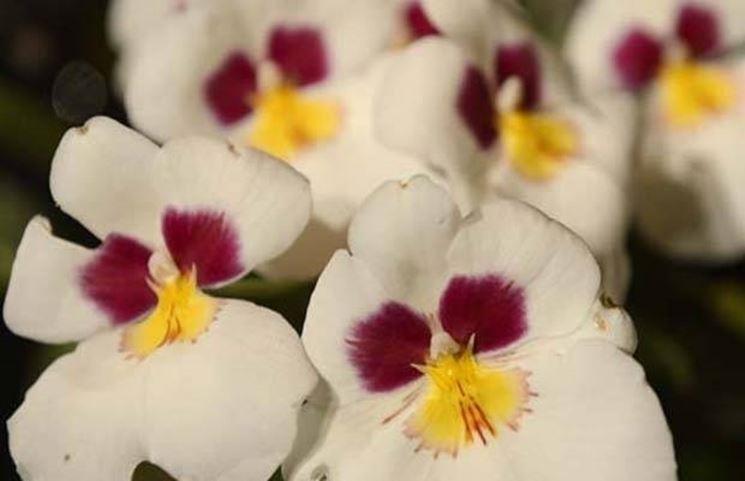 Parassiti orchidea