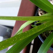 parassiti orchidee