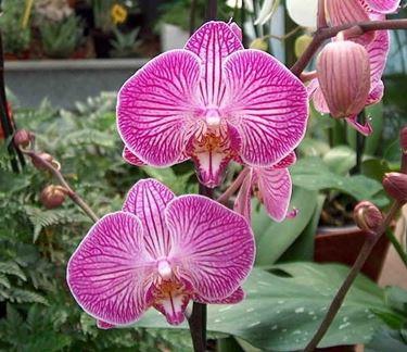 Phalaenopsis fioritura.