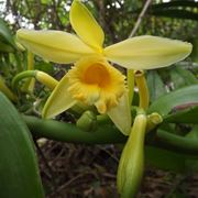 Fiore di vaniglia