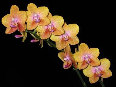 Phalaenopsis Gold 'Peach'