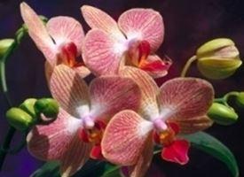 Potare le orchidee