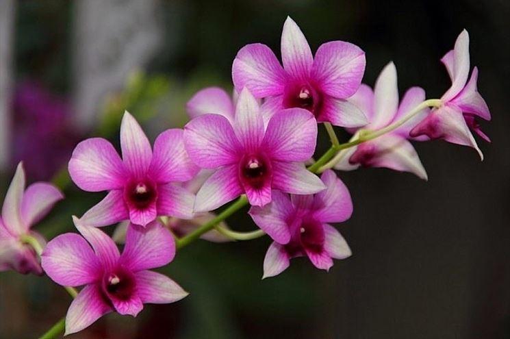 Esempio di orchidea Dendrobium