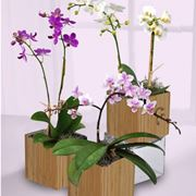 splendide orchidee