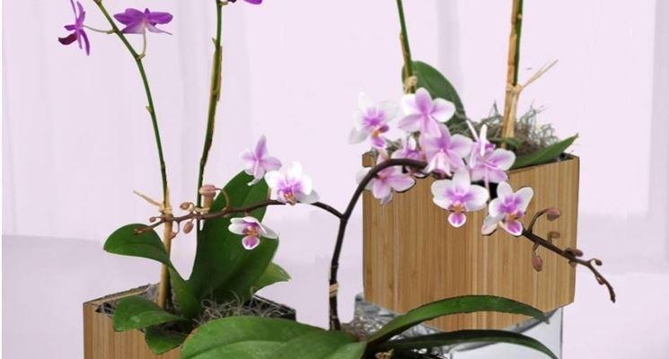 splendide orchidee