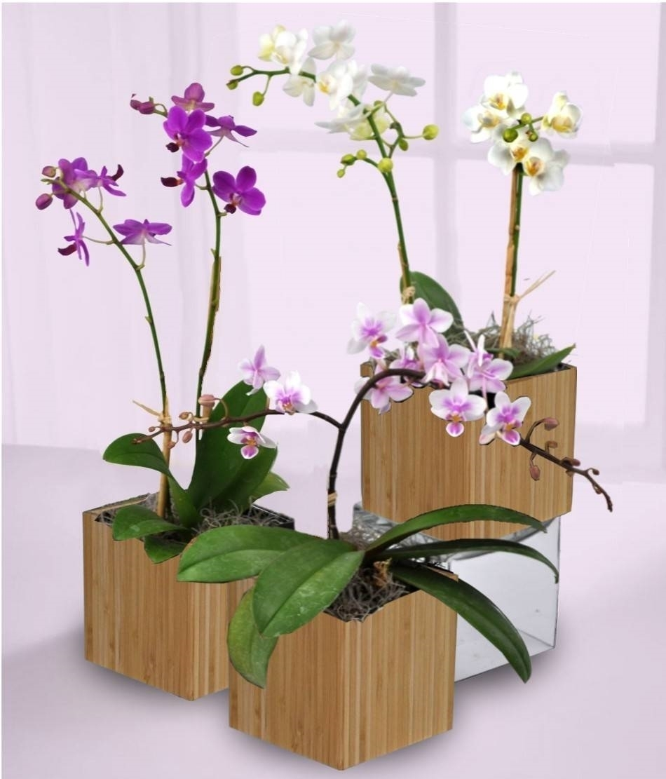 Rinvaso orchidee orchidee - Orchidee da appartamento ...
