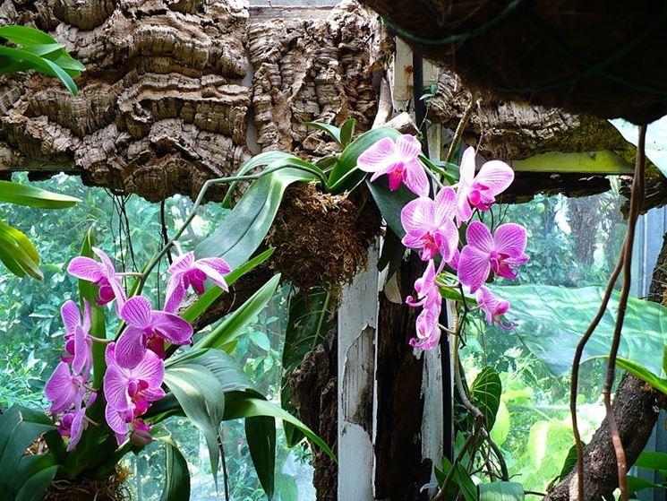 Dei bellissimi esemplari di orchidea tenuti in serra