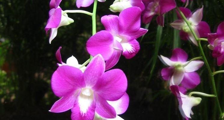 orchidea comune