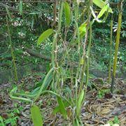Orchidea Vanilla
