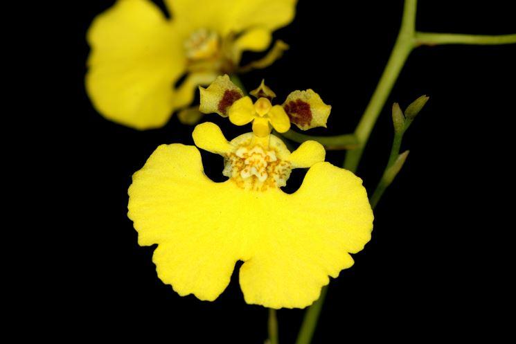 Fiore Oncidium