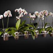 Orchidee phalaenopsis in vasi di plastica