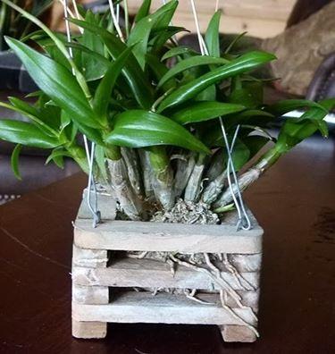 Dendrobium in cassetta di legno