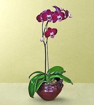 Vaso per orchidea orchidee vaso adatto alle orchidee for Cura orchidee in vaso