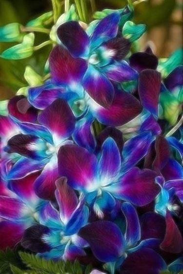 bellissime orchidee blu