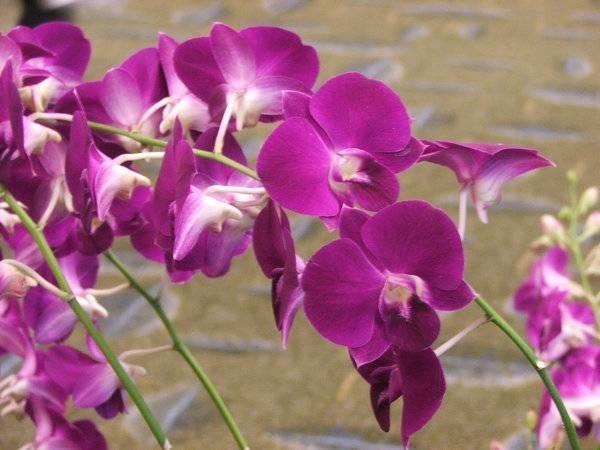 Vendita orchidee orchidee for Semi orchidea