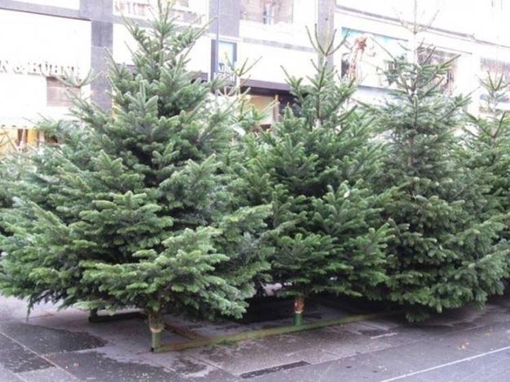 albero di natale vero piante appartamento albero di