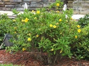 pianta di allamanda