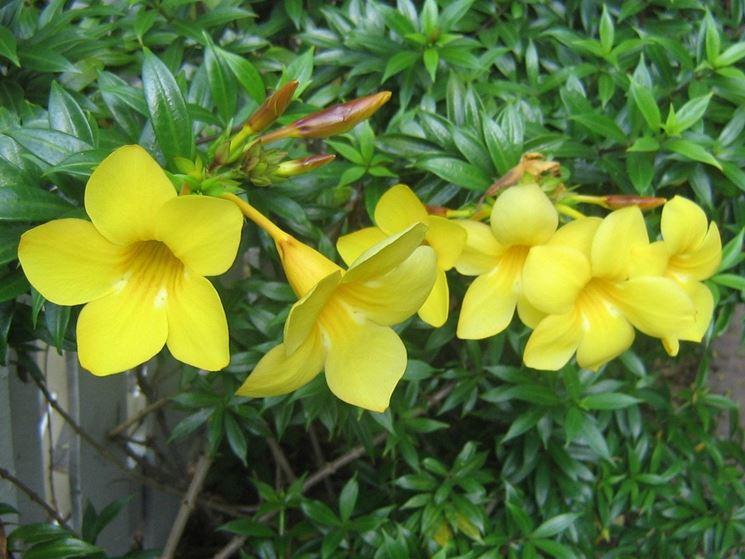 fiori di allamanda