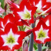 Fiori amaryllis