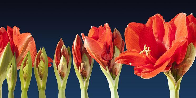 Boccioli fiori amaryllis