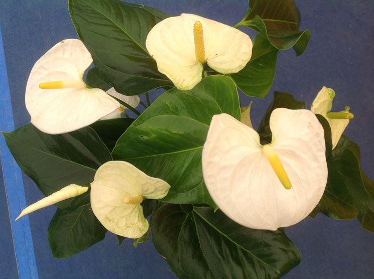 Anthurium Bianco fiori