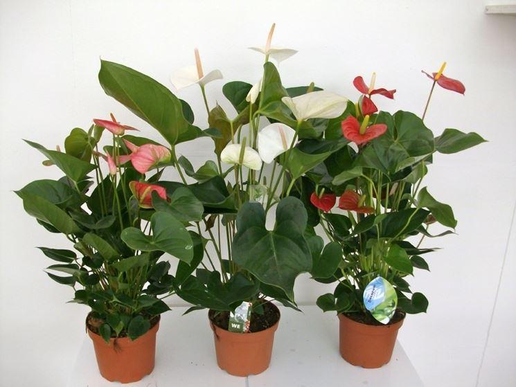 Esemplari di anthurium dai fiori di diverso colore