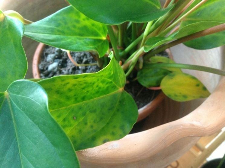 Anthurium con foglie gialle