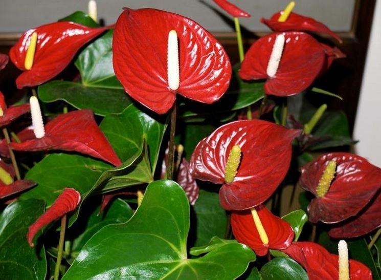 anthurium pianta sana