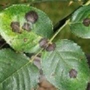 anthurium foglie macchiate