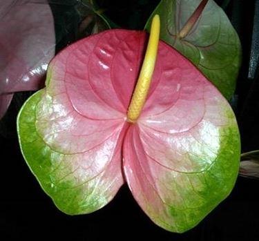 anthurium colorato