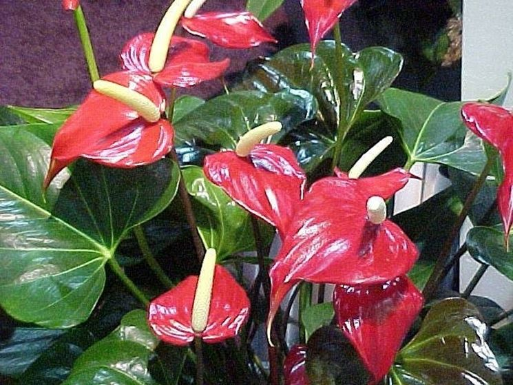 pianta d'anthurium
