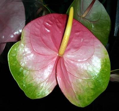Anthurium pianta piante appartamento anthurium for Anthurium rosso