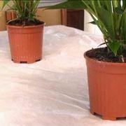 anthurium pianta