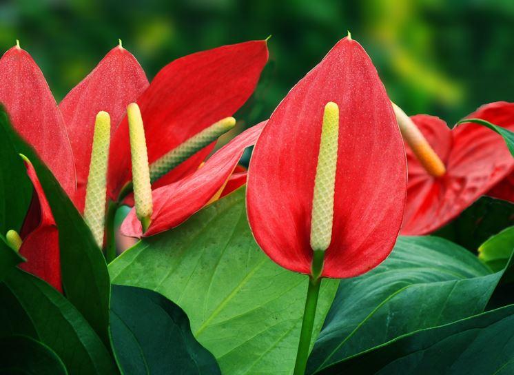 Fiori Anthurium Rosso