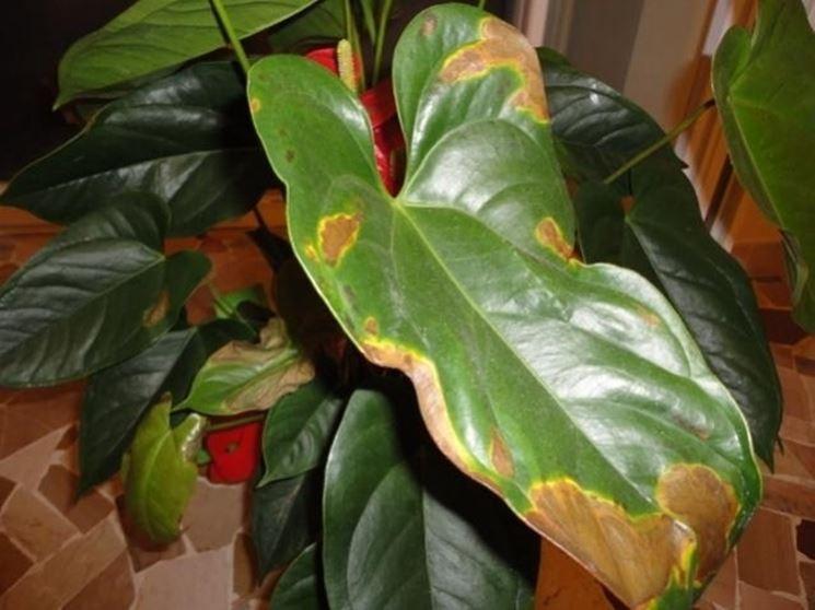 Anthurium rosso con ingiallimento fogliare ( la foglia