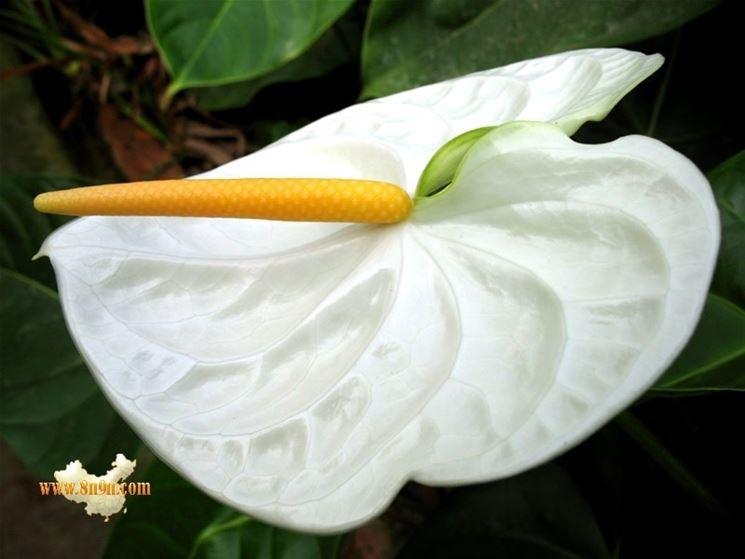 fiore anthurium bianco
