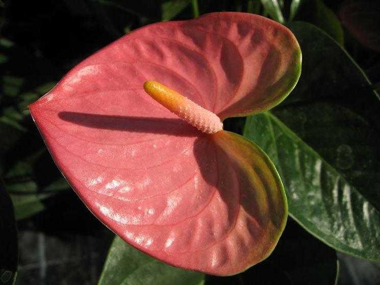 fiore anthurium rosa