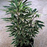 aralia pianta