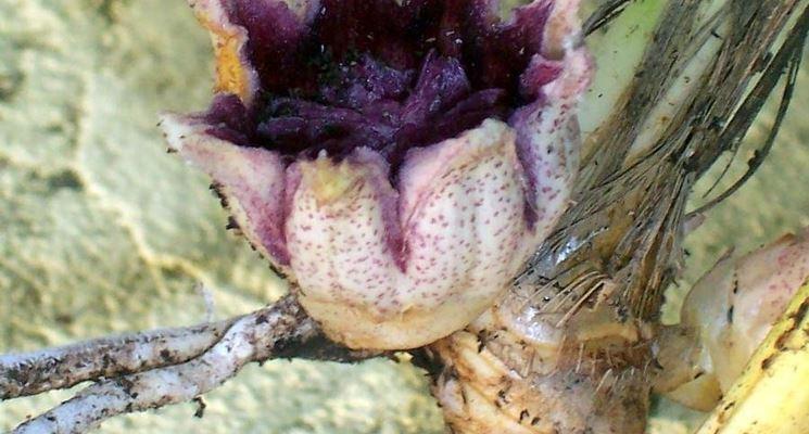 Particolare del fiore di aspidistra