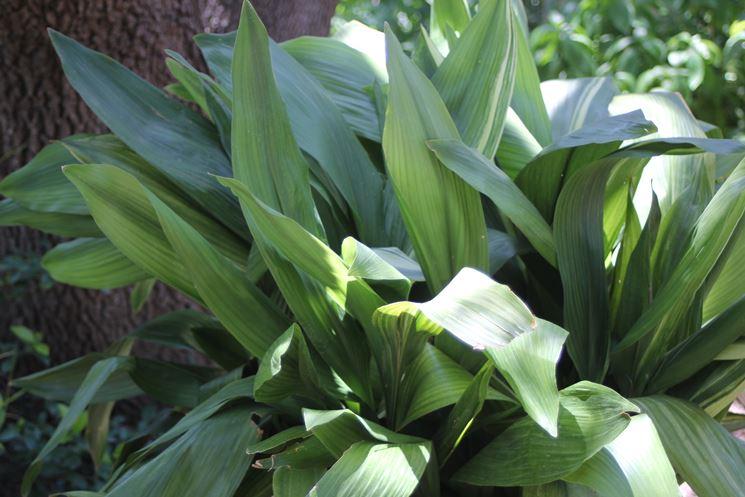 Particolare delle foglie di aspidistra