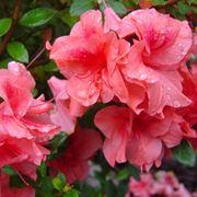 azalee fiorite
