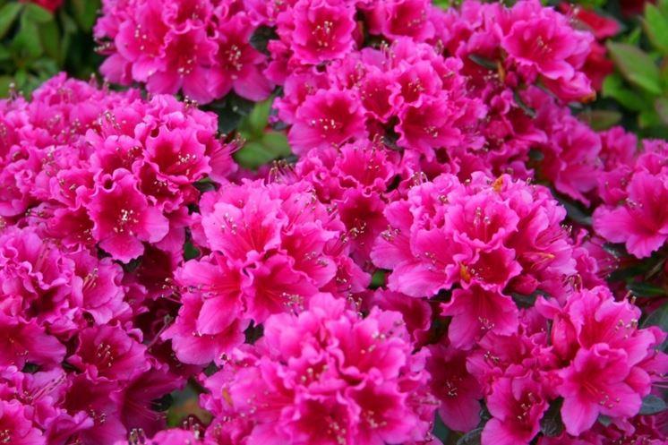 azalee rosa