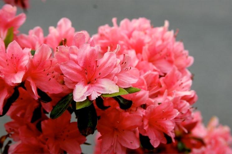 Azalee piante appartamento azalee caratteristiche - Azalea da interno ...