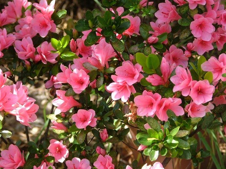 Azalee piante appartamento azalee caratteristiche - Azalee da esterno ...