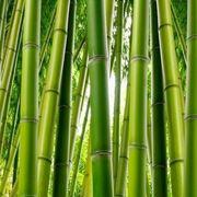 la coltivazione del bambù in  terra